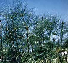 Árbol del papiro