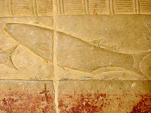 Mújol, Phagrus (Mugil auratus, M. capito, M.cephalus, y Mugil ramada)